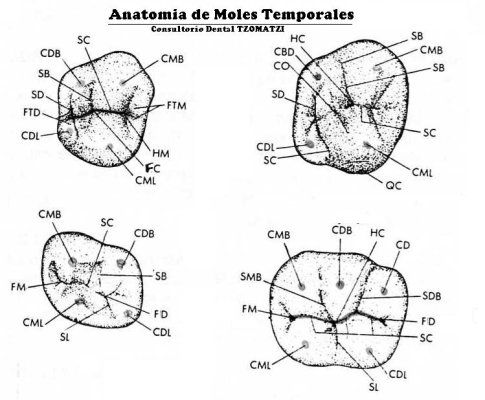Anatomia de Dientes Temporales | [DENTISTRY] Tooth Morphology ...