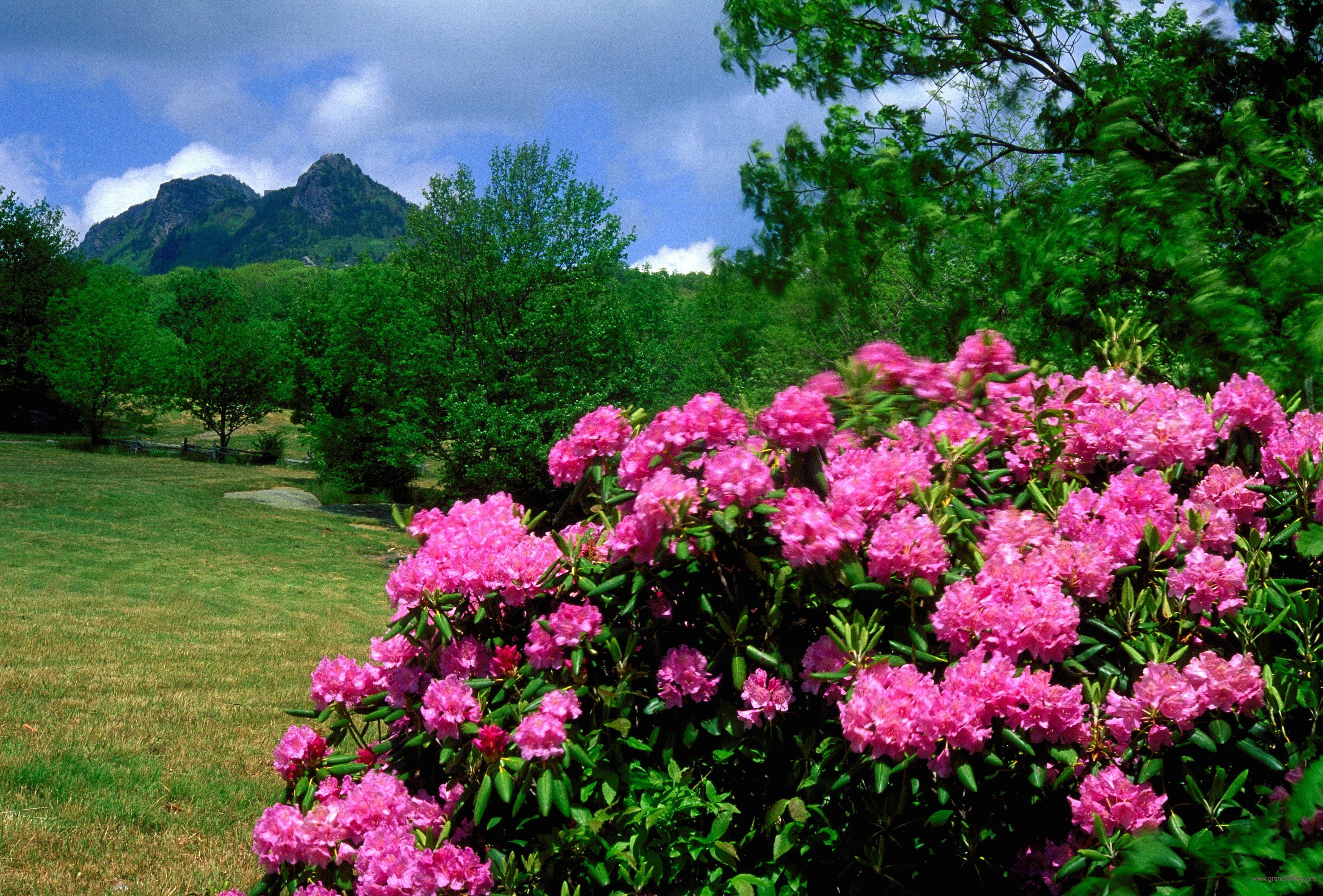 Rhododendron and Grandfather Mountain, NC USA