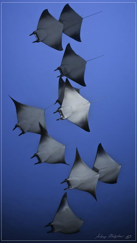 Manta Rays in Flying Formation // photo by Andrey Gladyshev