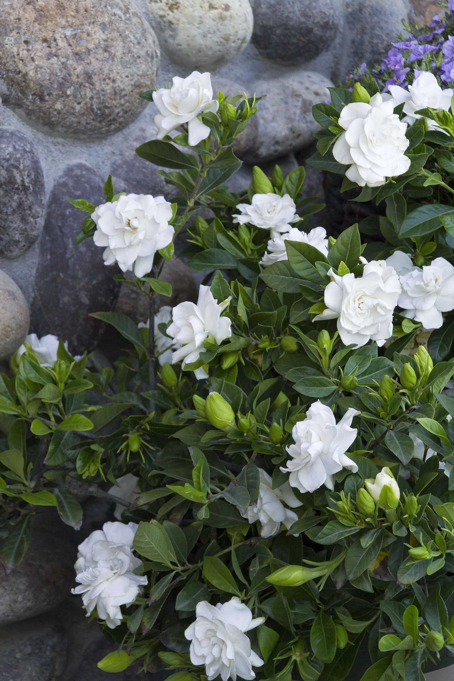 Everblooming gardenia monrovia everblooming gardenia for Small evergreen flowering trees