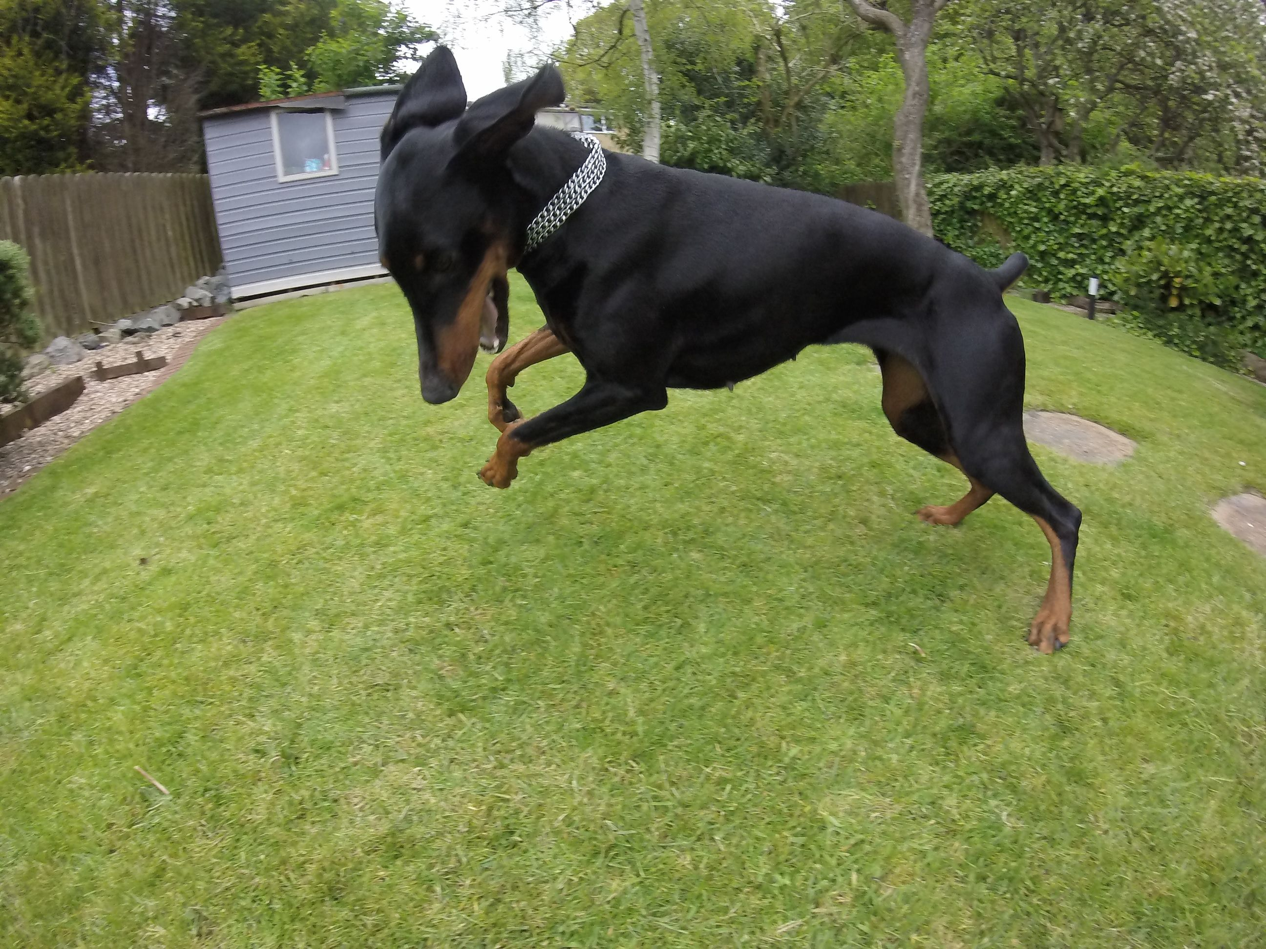 Doberman wanting me to chase her!!!!