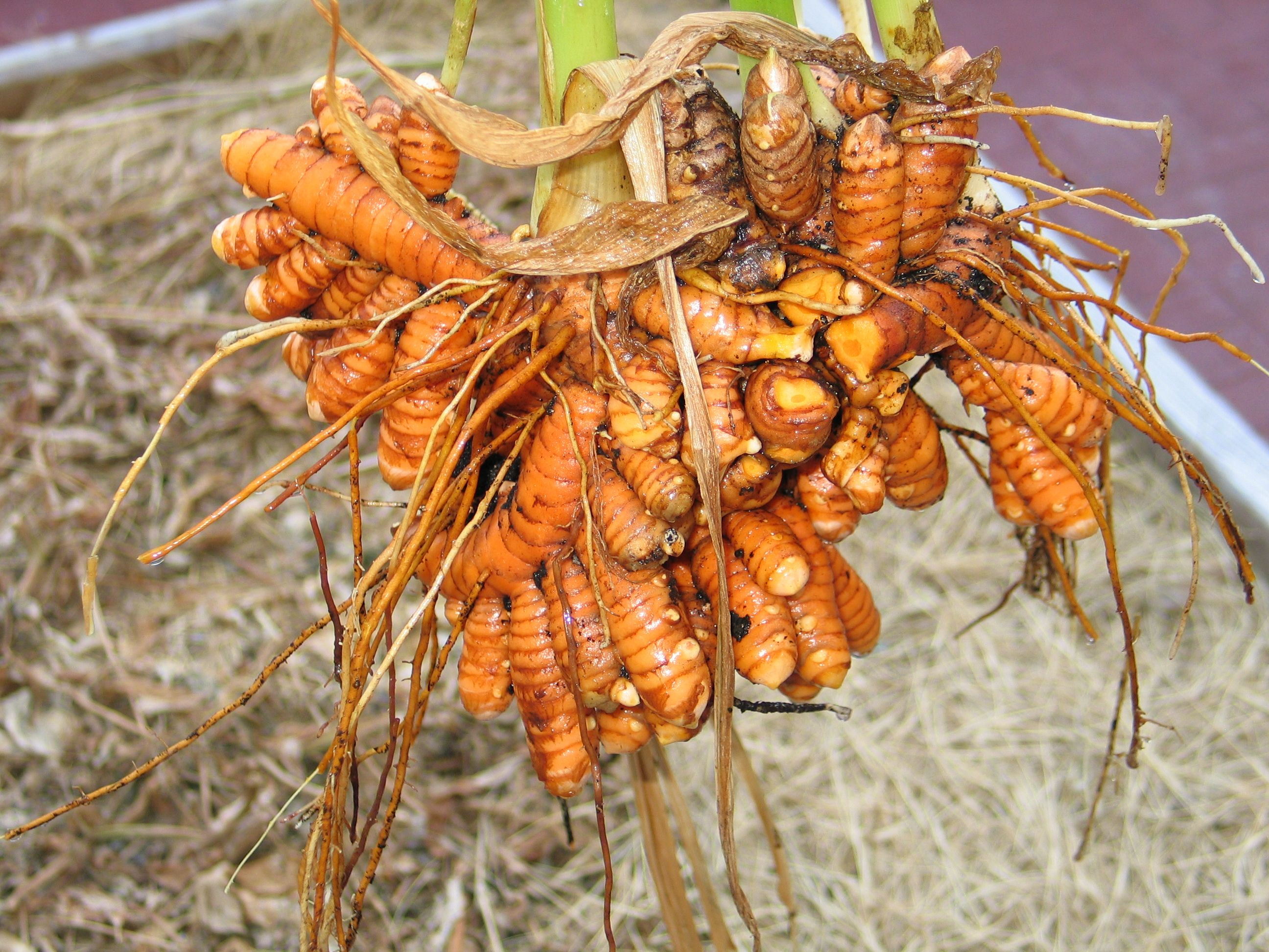 All About Turmeric in Skincare - ORO GOLD School |Turmeric Plant Root