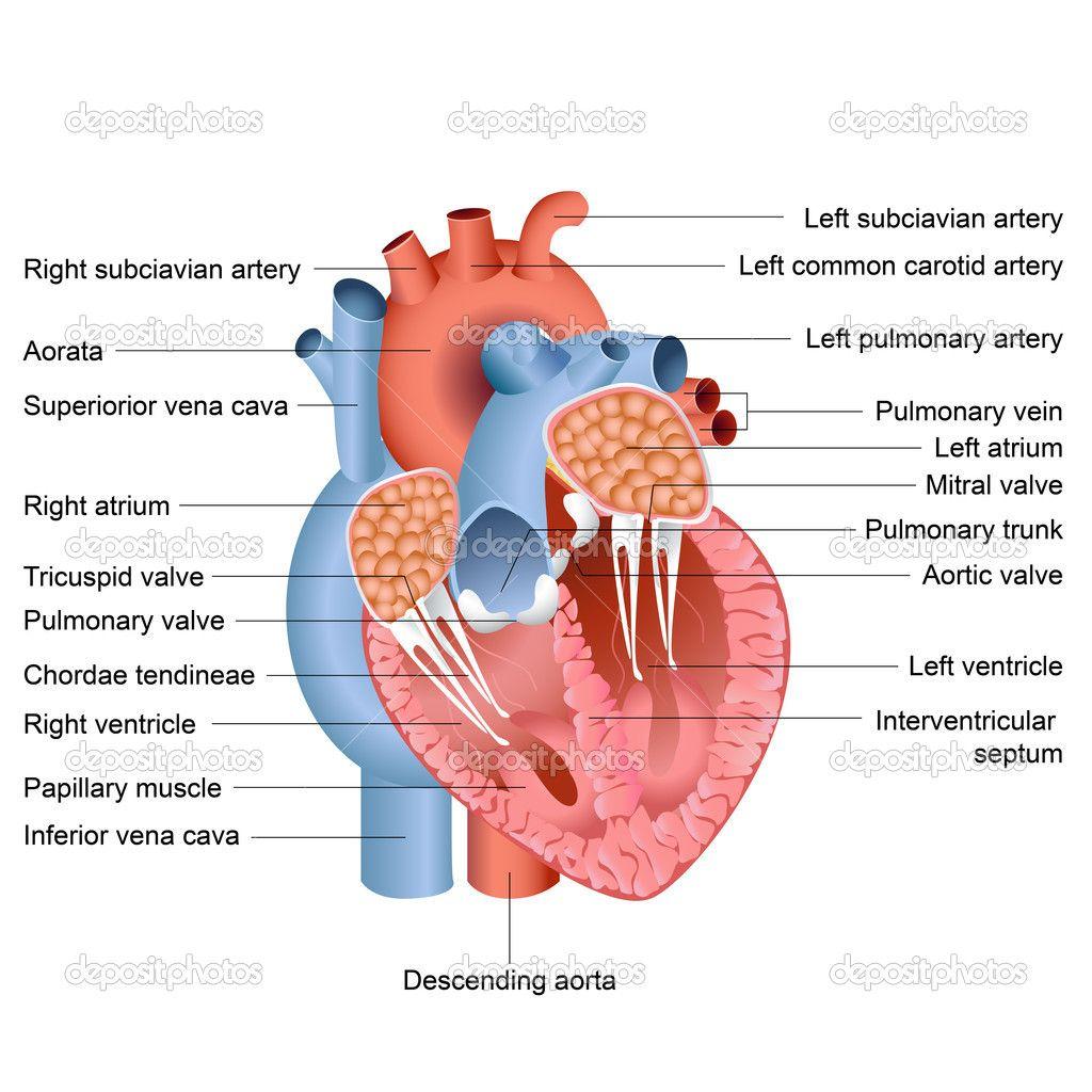 Heart Anatomy Diagram Label Circulatory Nursing