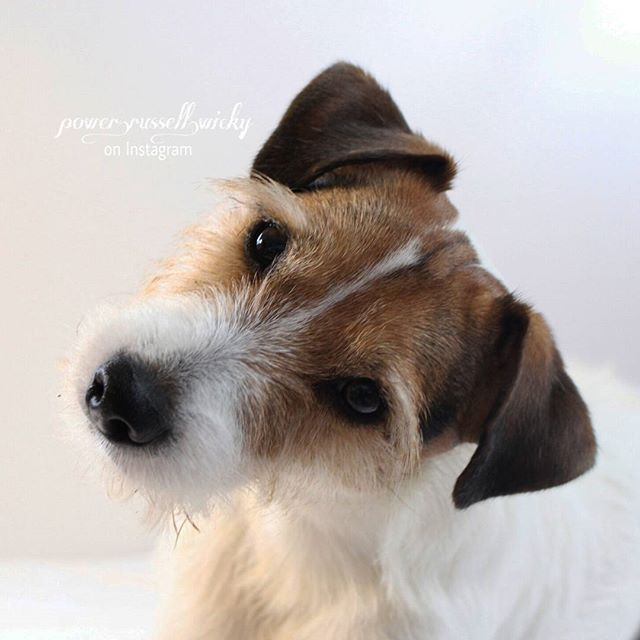 13 Images That Ll Look Familiar If You Live With A Parson Russell Terrier Patterdale Terrier Jack Russell Dogs Jack Russell