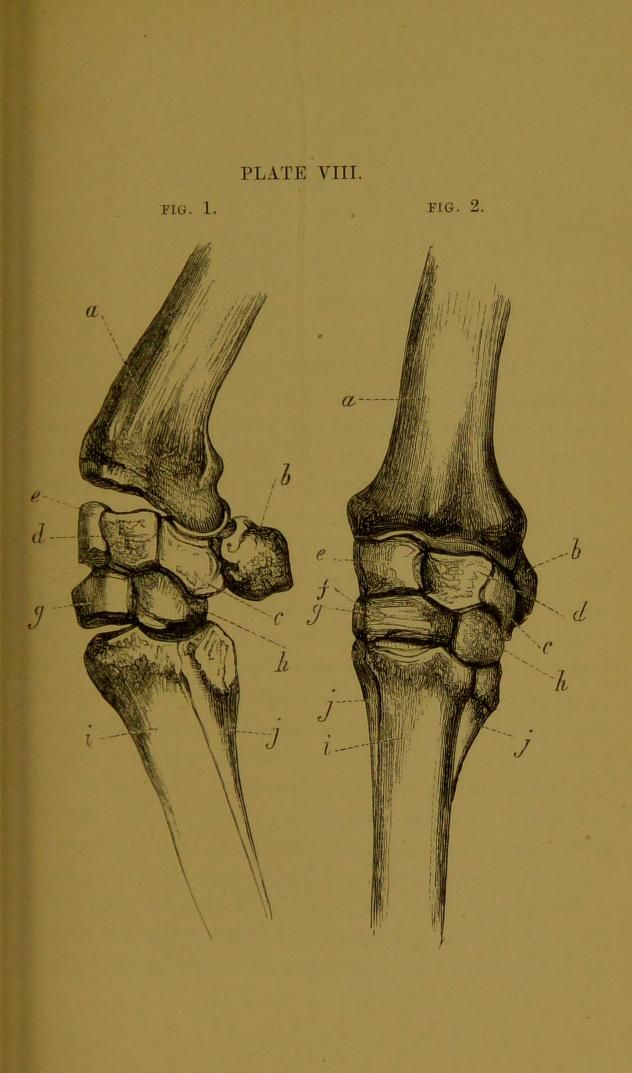 Bones of the knees of the horse, from: \'The artistic anatomy of the ...