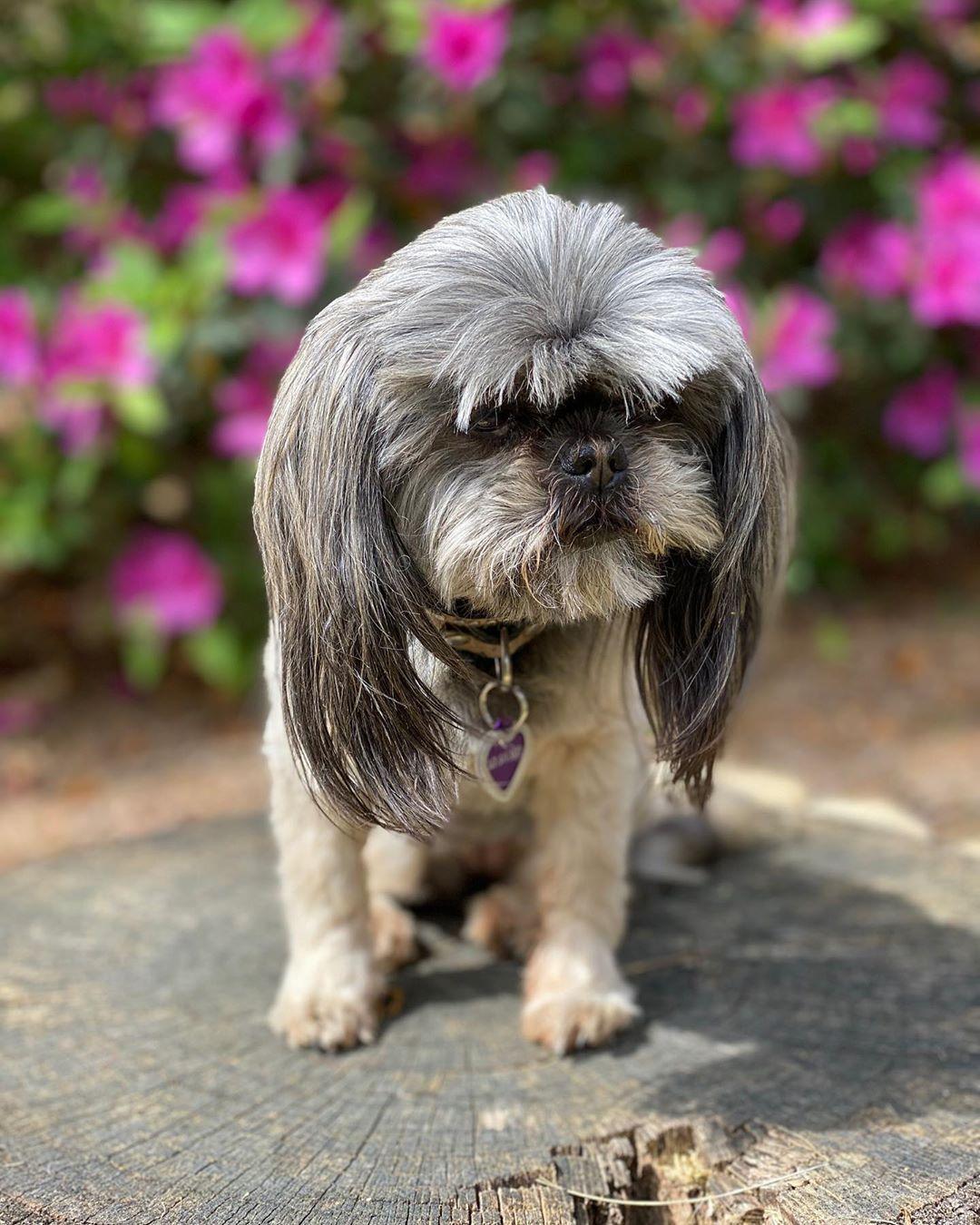 Take Time To Smell The Roses You Wont Regret It Dogslife Shihtzu Dog Loyal Mansbestfriend Imperialshihtzu Dangerous Dogs Dog Breeds Dogs