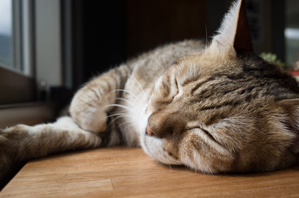 Understanding Dementia In Cats And What You Can Do To Help Cats