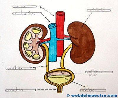 Aparato excretor primaria 2 cole pinterest aparatos for En k parte del cuerpo estan los rinones
