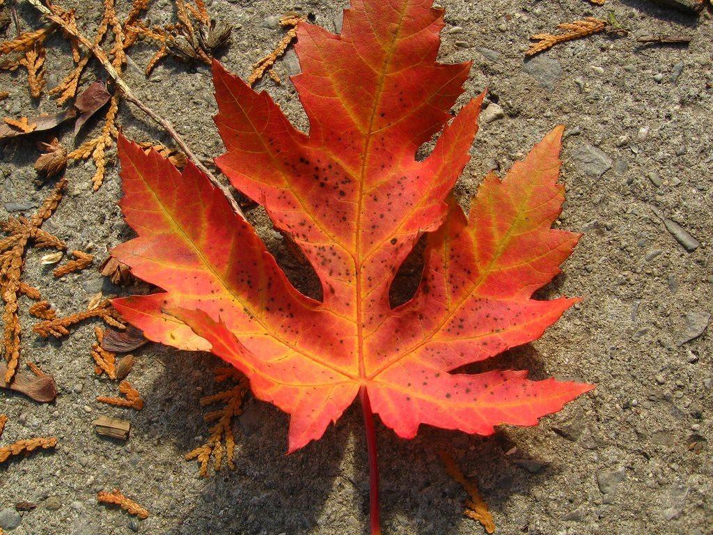 Tree Identification: Acer saccharinum - Silver Maple | Autumn Trees ...