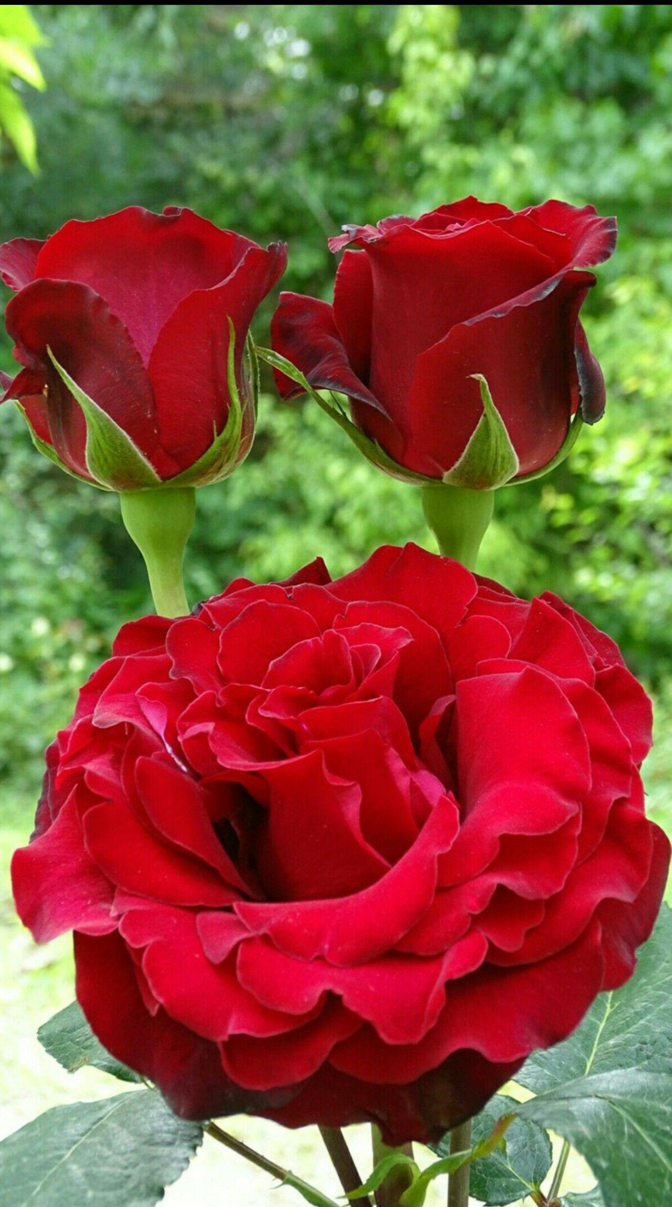 Imagenes De Flores Chidas Imagenes De Rosas Pinterest