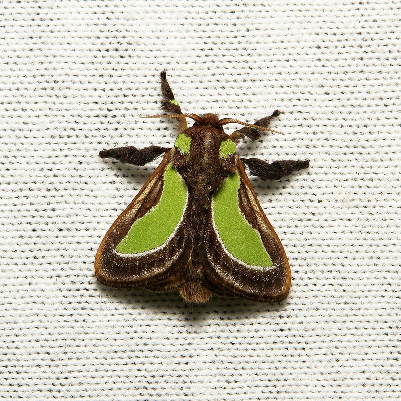 Cup Moth (Parasa Cf. Darma, Limacodidae) (With Images