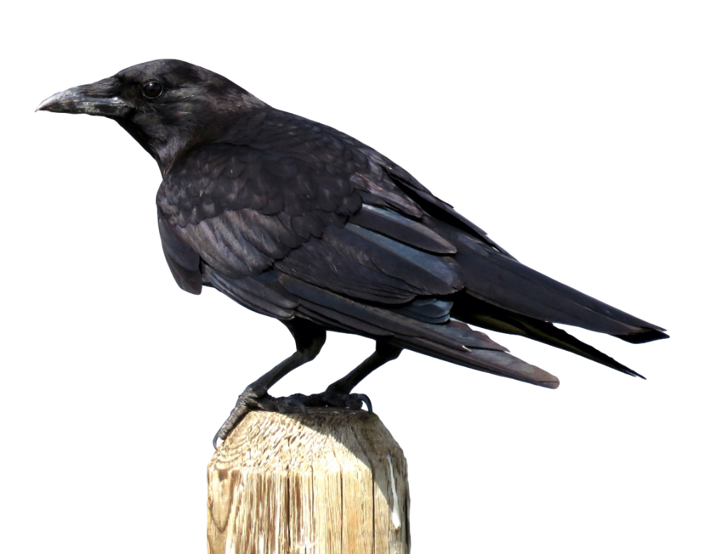Crows Download Crow Png Download 2250 1755 Free Transparent American Crow Png Download Clip Art Library Crow Png American Crow