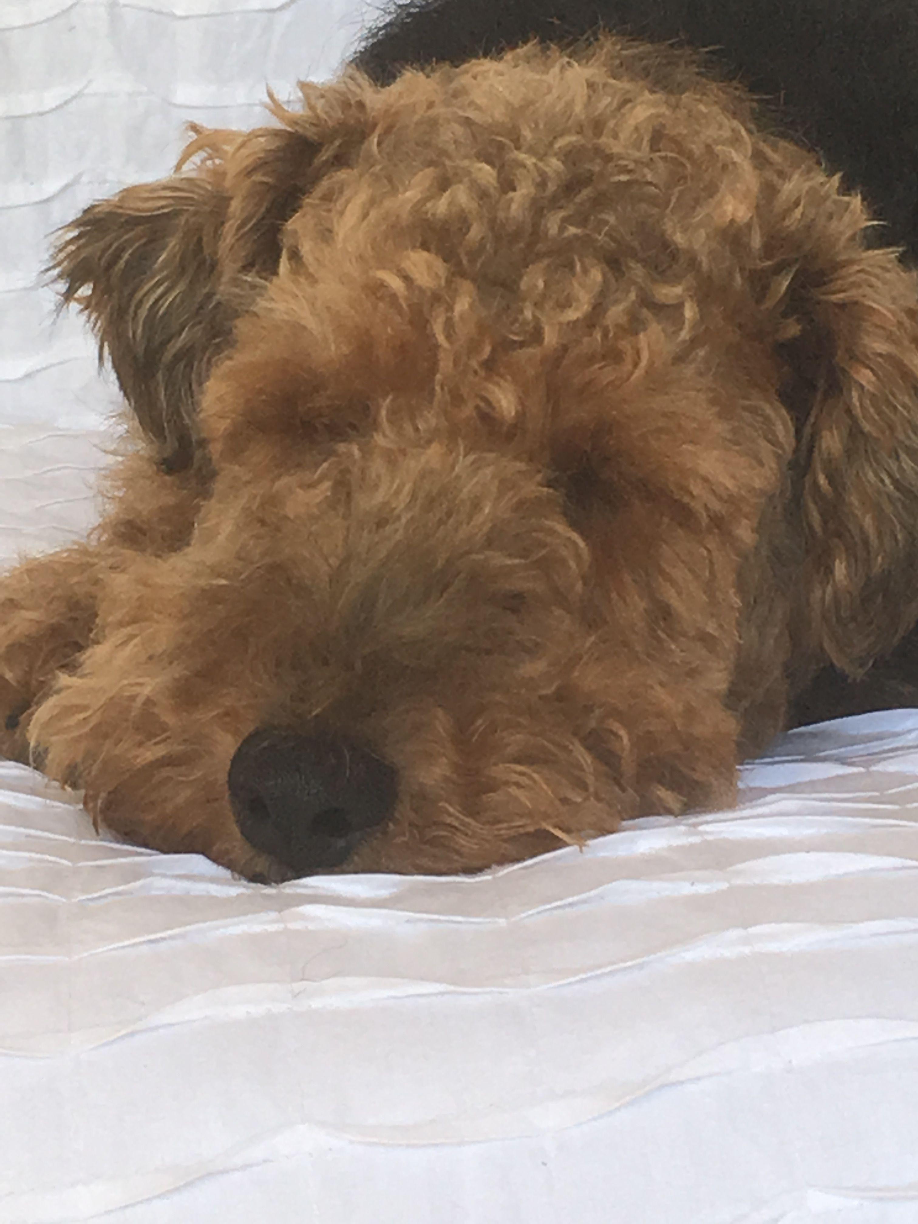 A I R E D A L E Losing a dog, Welsh terrier, Airedale