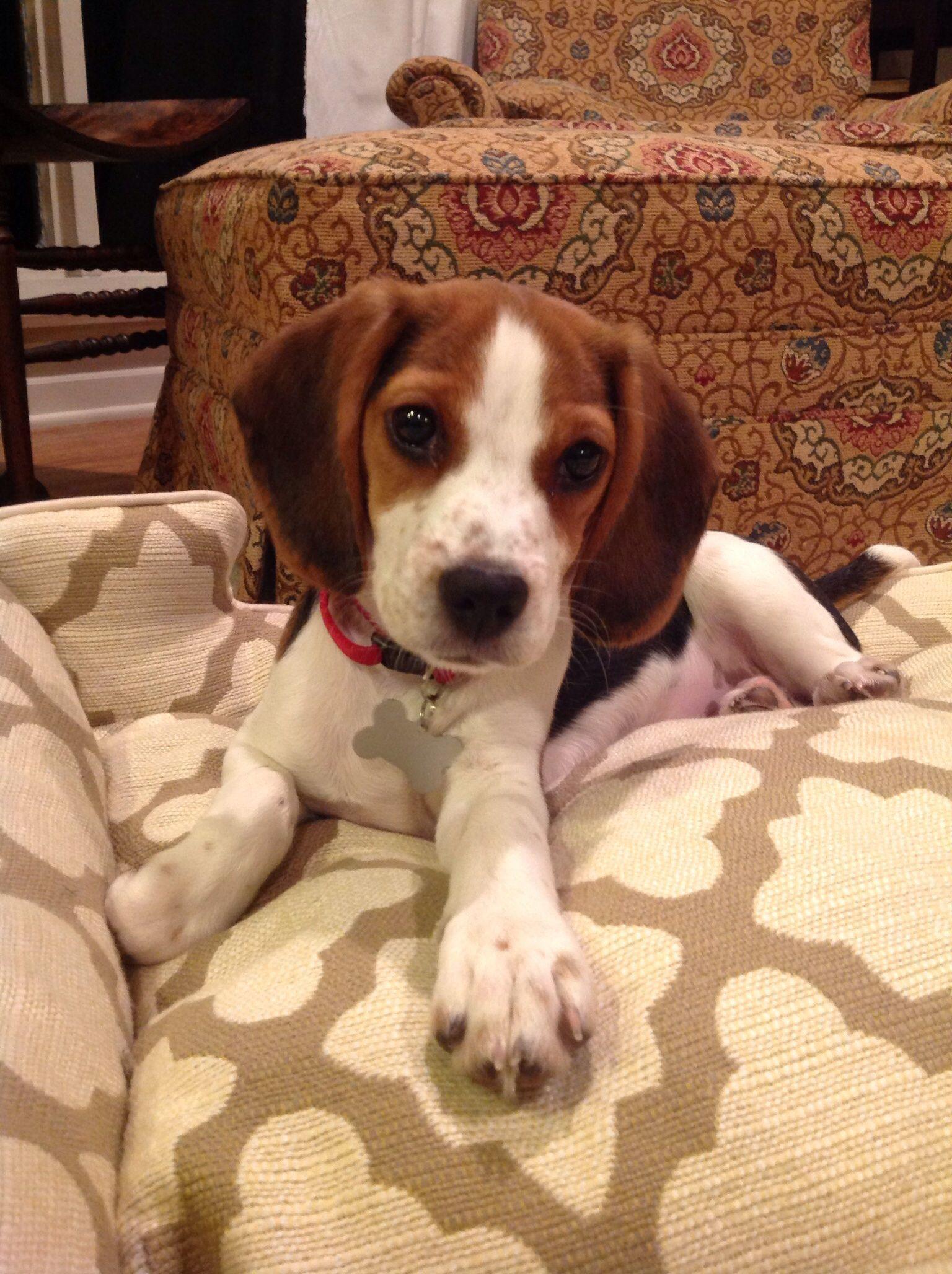 The Beagle Friendly Loyal And Loving Types Of Beagles Beagle