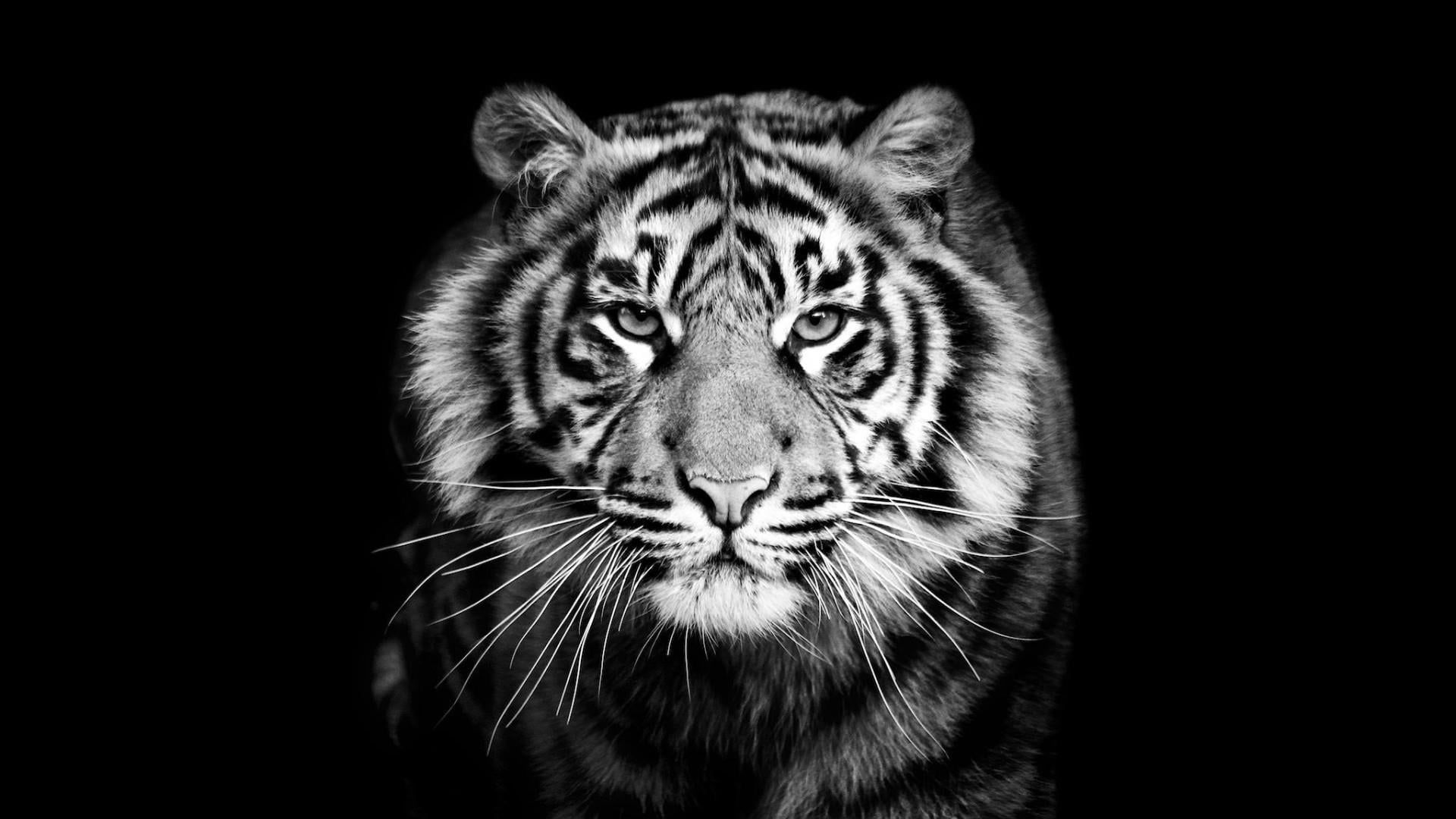 Tiger Black Black And White Wildlife Monochrome Photography Head Big Cats Monochrome Close Up 1080p Wallpaper Hdwal Tiger Images Sumatran Tiger Animals