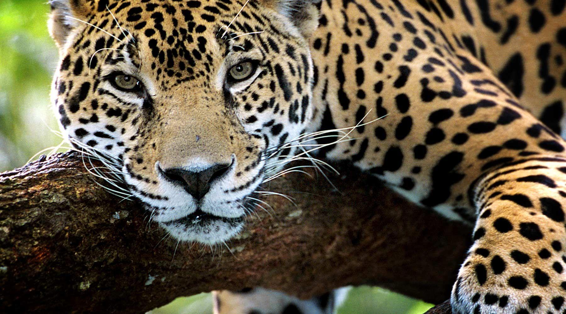 Adopt A Jaguar Animals Large Cats Jaguar