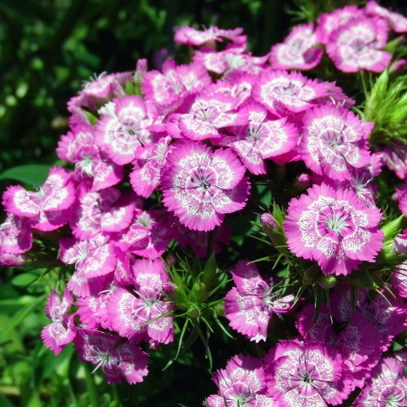 Rosliny Jednoroczne I Dwuletnie Do Ogrodu Katalog Roslin Zielony Ogrodek Floral Wreath Floral Carnations