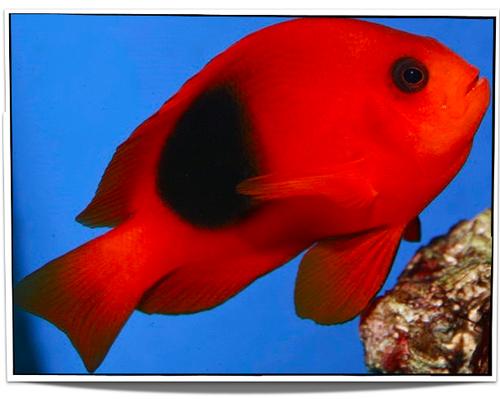 Fire Clownfish Saltwater Fish For Sale Pet Fish Clown Fish