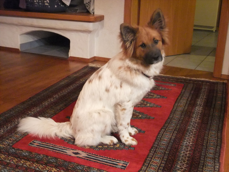 Elo Dog Dog Puppy Site Hunderasse Hunde Hunde Rassen