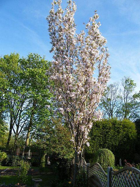 Flagpole Cherry Tree Or Prunus Amanogawa Flowering Cherry Tree Garden Styles Small Garden Design