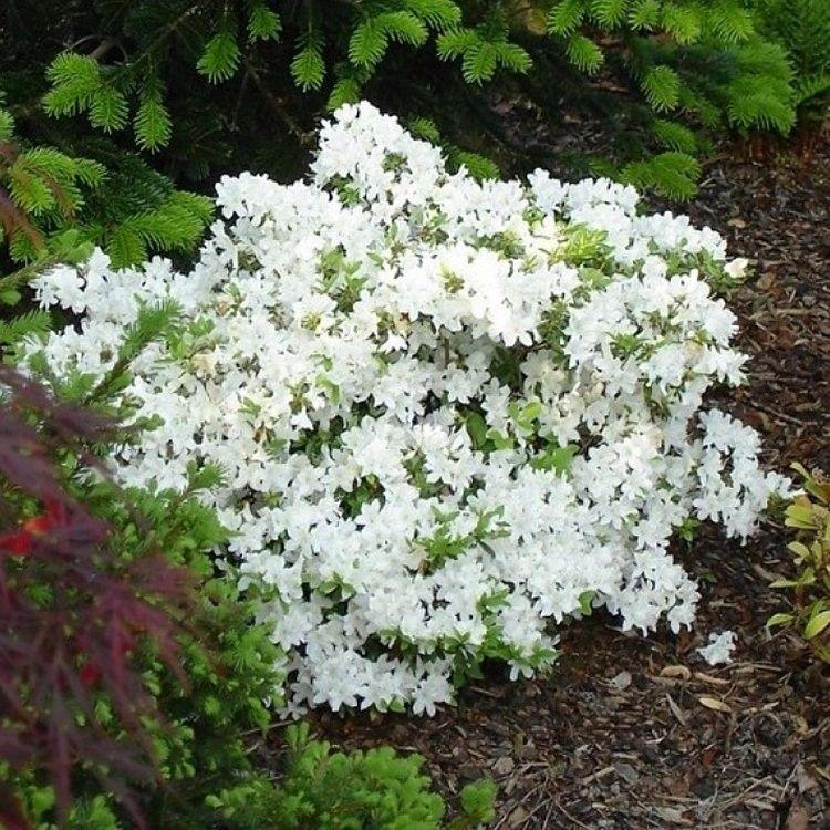Azalea Japonica Pleasant White Is A Beautiful Variety Of Japanese Azalea With Small Evergreen Leaves In 2020 Japanese Garden Plants Japanese Plants Evergreen Plants
