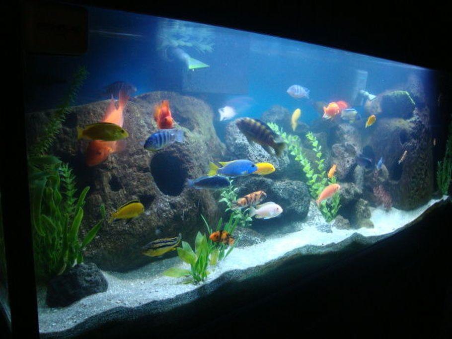 Peacock cichlid aquarium setup google search aquarium for Cichlid fish tank