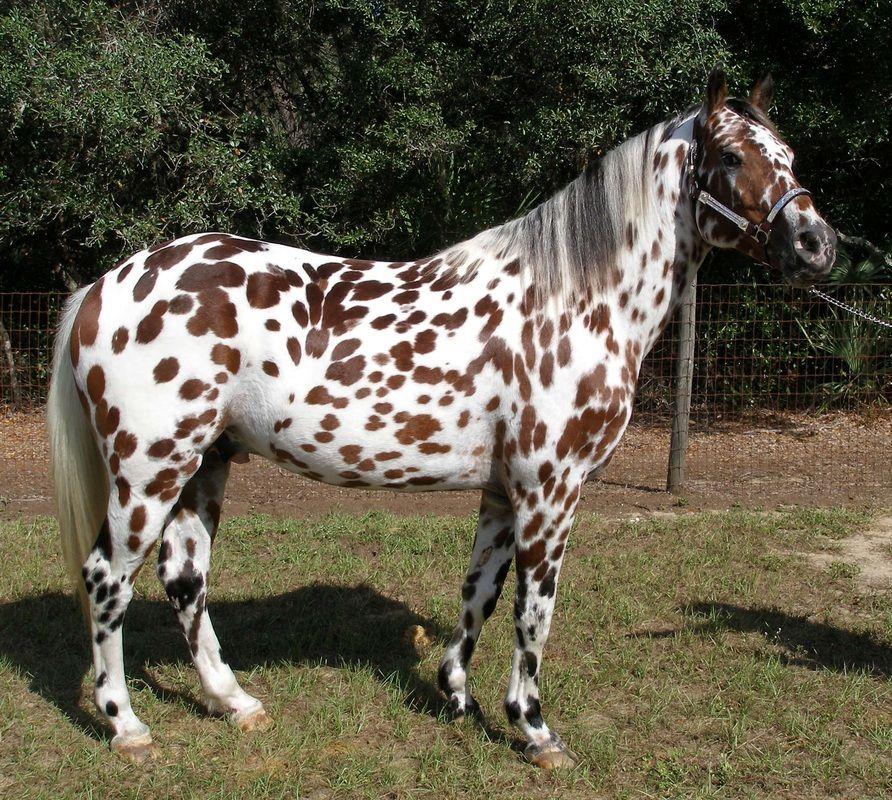 bay leopard - Appaloosa stallion SLA Ulrich BeoWulf ...