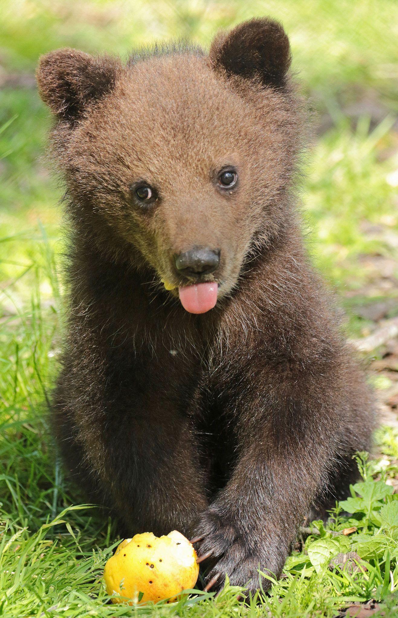 Bear cub sticks his tongue out.