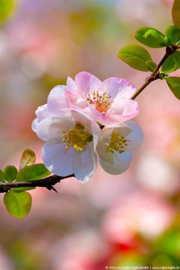 Japan S Famous Cherry Blossoms For Your Iphone C Right Light Gmbh All Rights Reserved Cherry Blossom Japan Beautiful Flowers Beautiful Gardens
