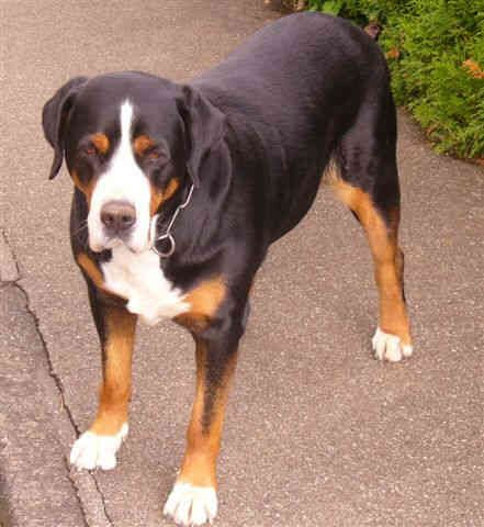 Pin by Patrick on Dogs and Cats | Mountain dogs, Greater ...