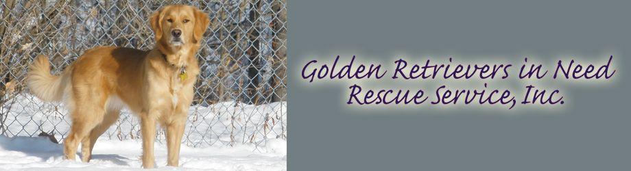 Fergus The Golden Retriever Golden Retriever Dogs Golden Retriever Best Dog Breeds