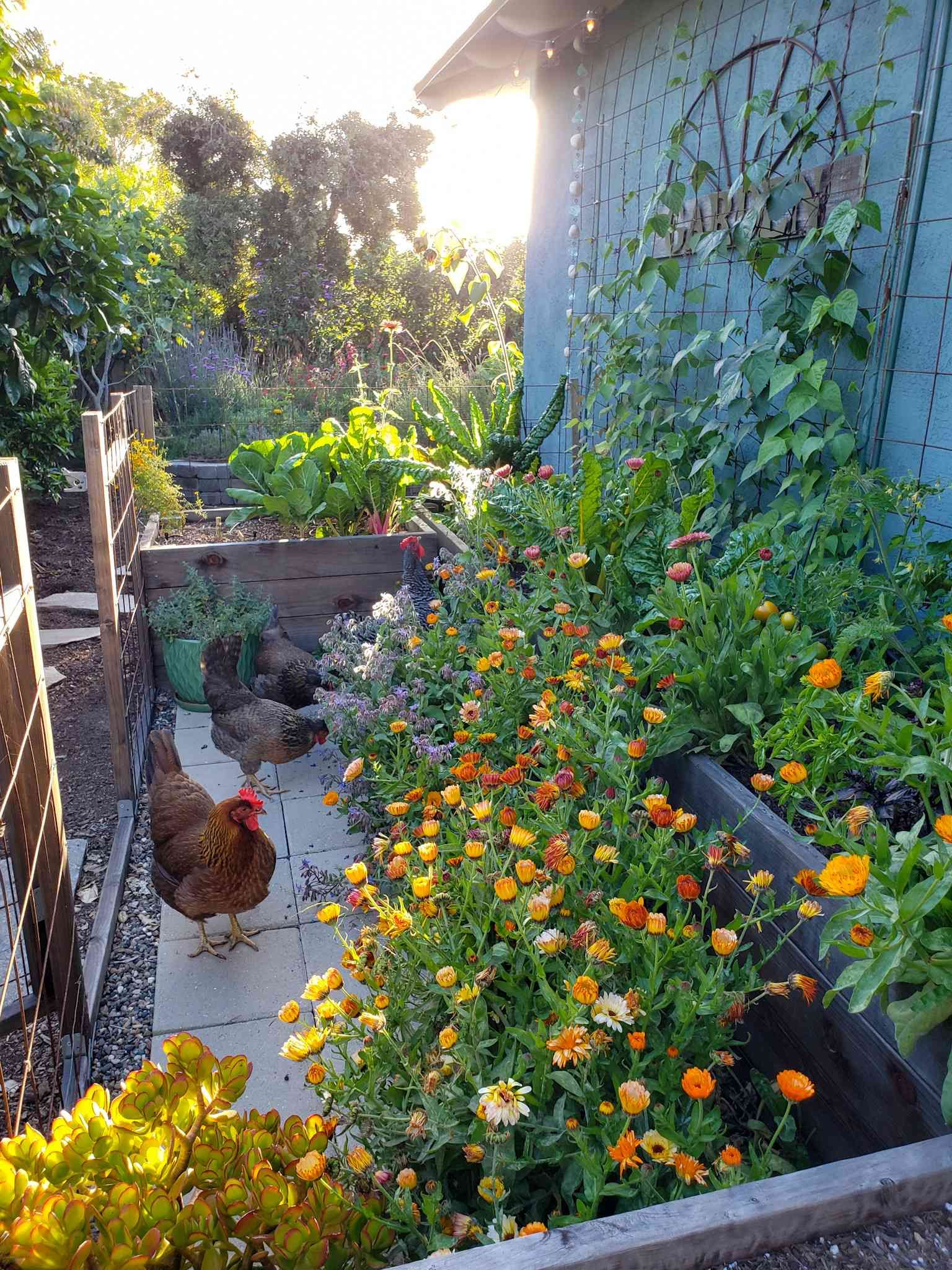 All about calendula how to grow harvest dry use