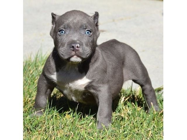 Listing Pitbull Puppy For Adoption 13 Weeks Old Is Published
