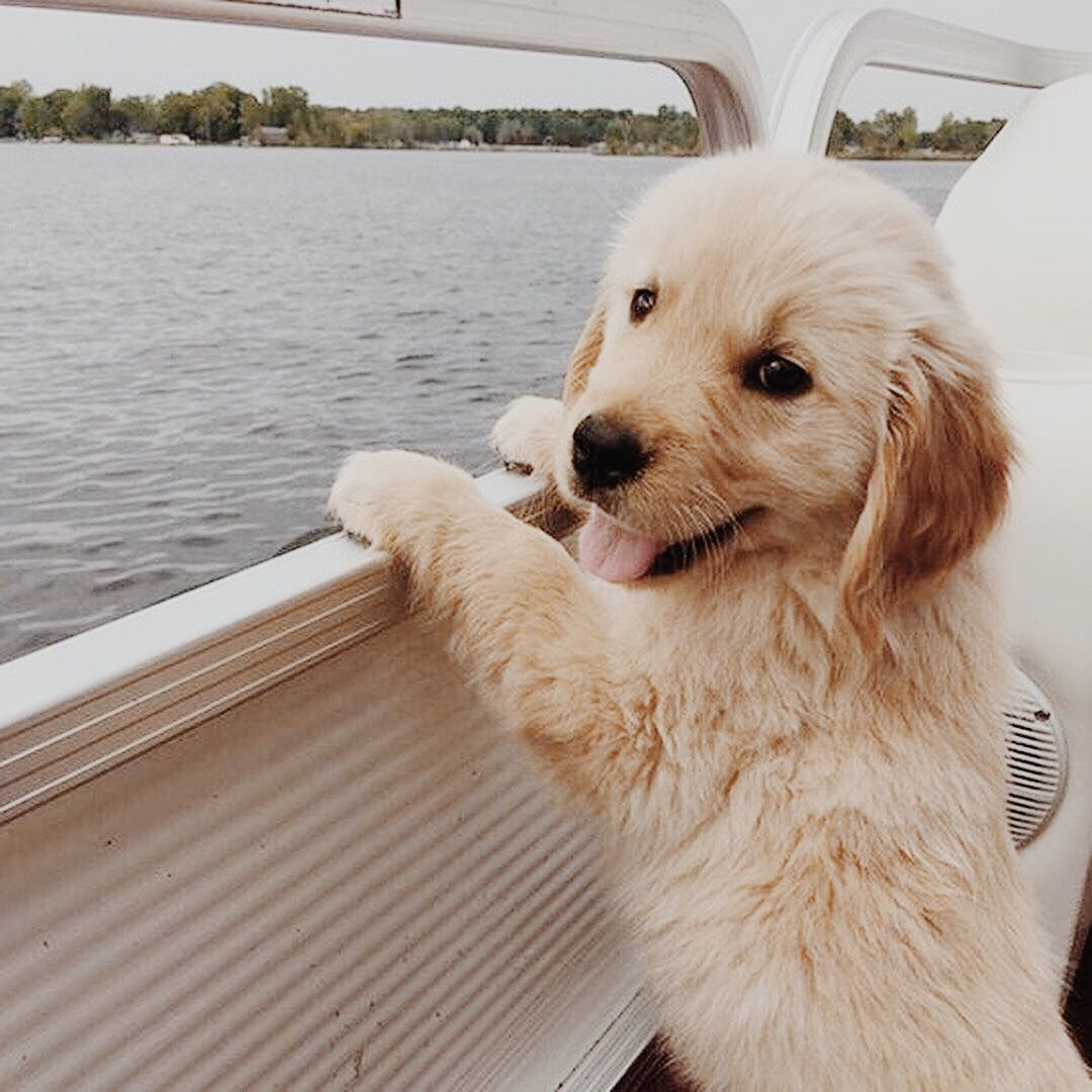 Pinterest Abigailrippy03 Goldenretriever Cute Dogs And