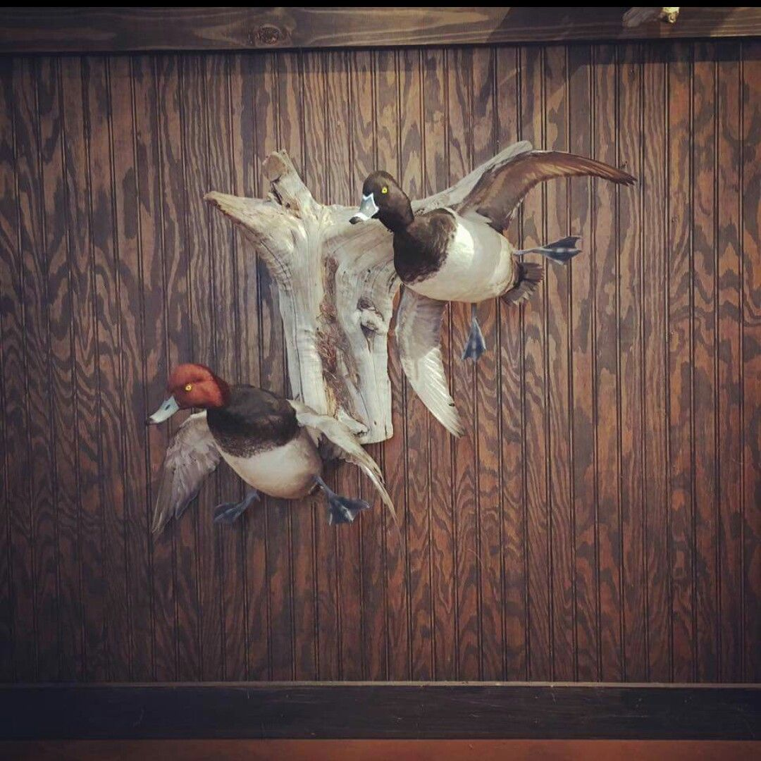 Ducks Unlimited Home Decor: Pin By Mark Bowers On Taxidermy