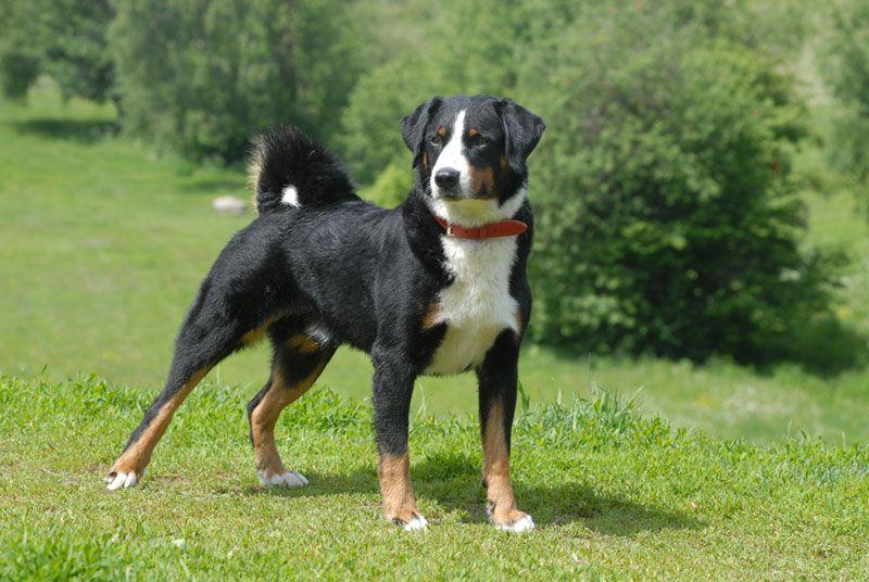 Appenzeller Sennenhund Dogs Puppy Mills Pets