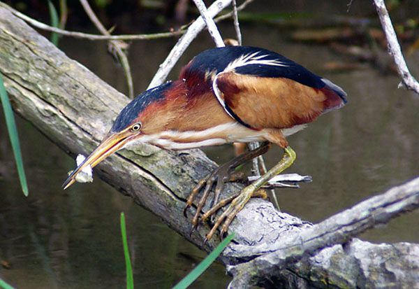 Bird of the Month for April: Least Bittern « Audubon Society of ...