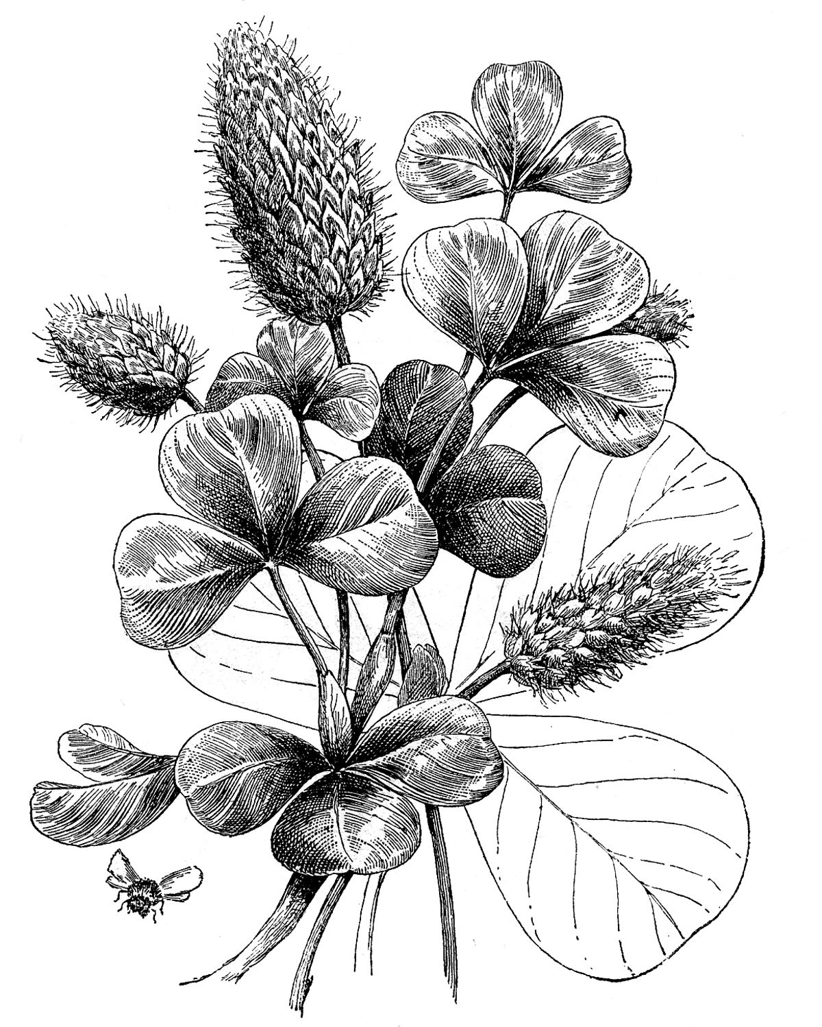 Vintage Graphic Black And White Botanical Clover Art