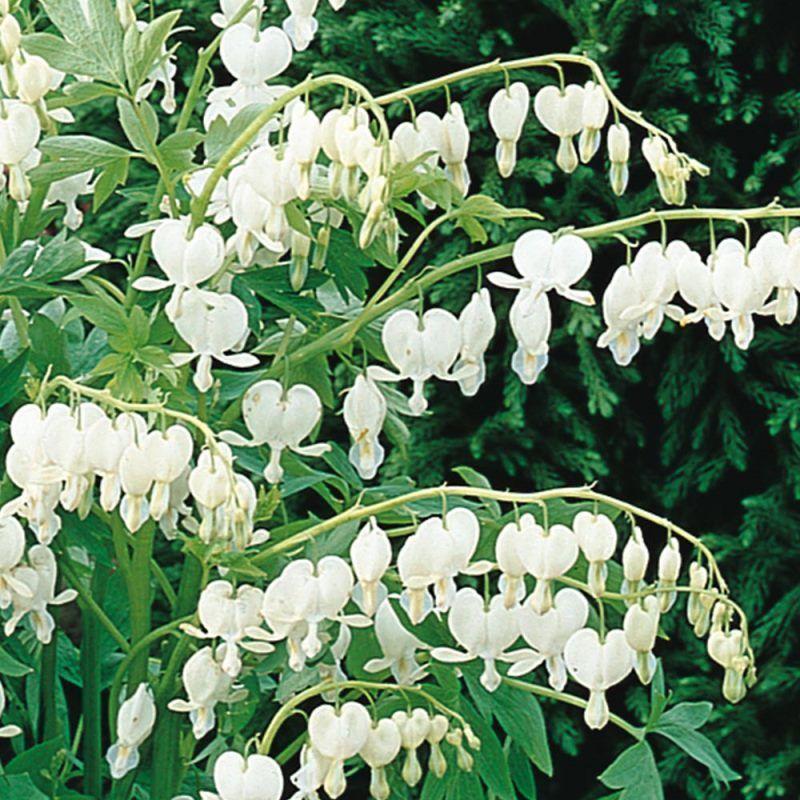 Dicentra Spectablis Alba White Bleeding Heart Partial Shade Plants Plants Bleeding Heart Flower