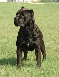 Cane Corso Breeder Texas Cane Corso Corso Dog Cane Corso Dog