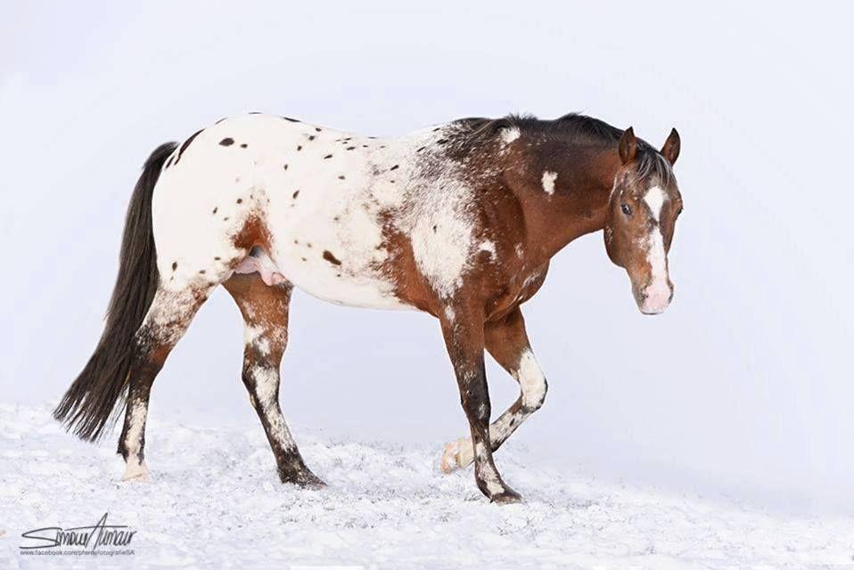 Pferdefotografie Simone Aumair, Austria