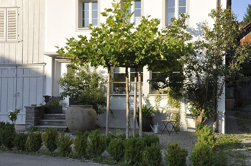 als hausbaum kommen platanen mehr und mehr in mode sie sind einfach zu schneiden und in form zu. Black Bedroom Furniture Sets. Home Design Ideas