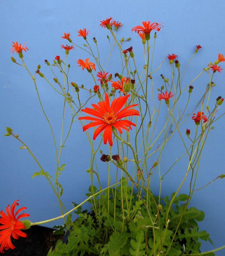 Aster Sp Andean Aster Buy Online At Annie S Annuals Aster Garden Perennials