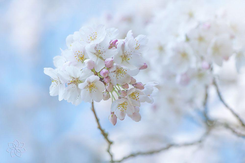 Yoshino Cherry Yoshino Cherry Blossom Flower Flowers Photography