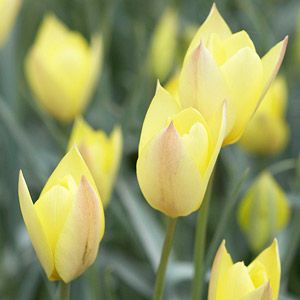 Top Tulips That Come Back Every Year Tulips Flowers Tulips Flowers