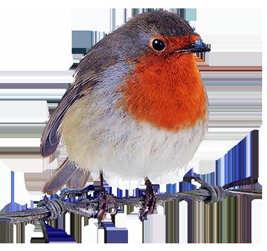 Birds robin. Clipart watercolor bird drawings