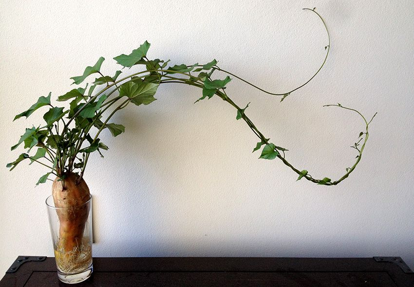 Five Low Maitenence Foods To Grow Indoors Plants Sweet Potato