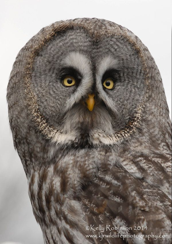 Grey Owl Portrait - by Shadow-and-Flame-86 on DeviantArt