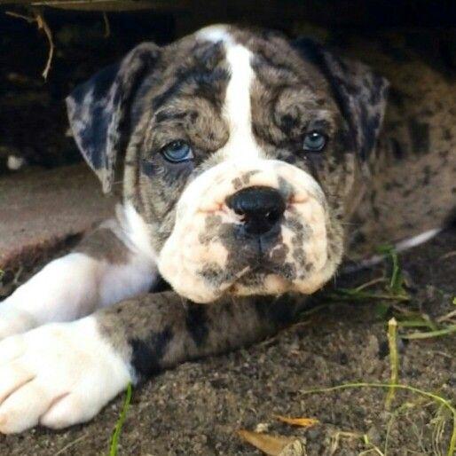 Blue Nose English Bulldog To Repin Puppy Dogs Dogs Bulldog Puppies