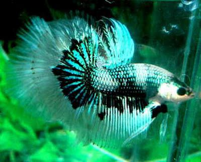 O My Gosh I Want To Find This One At Petco Betta Fish Betta Aquarium Fish